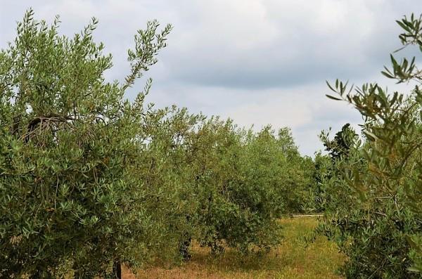 Istrien Olivenöl